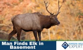 Man Finds Elk in the Basement